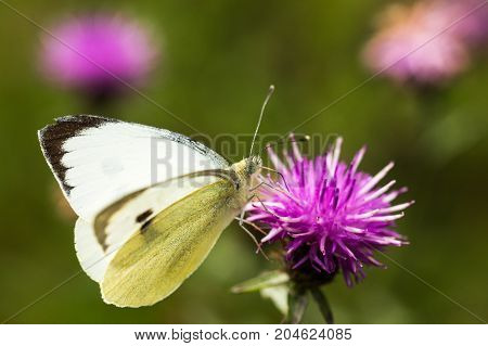 A Large White Butterfly sititng on a mauve thistle flower in a field in a nature reserve in Cranham
