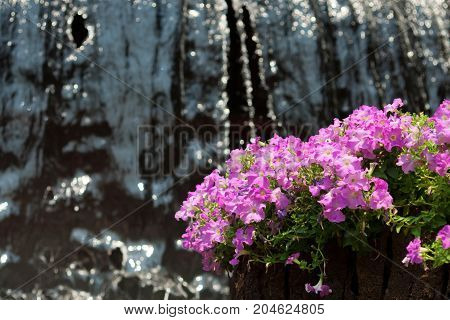 Bougainvillea Paper flower at waterfall - Stock Image
