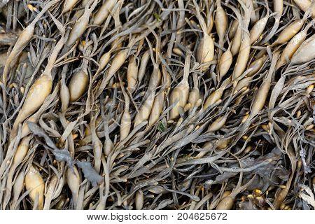 Leaves Of Norwegian Kelp (ascophyllum Nodosum)