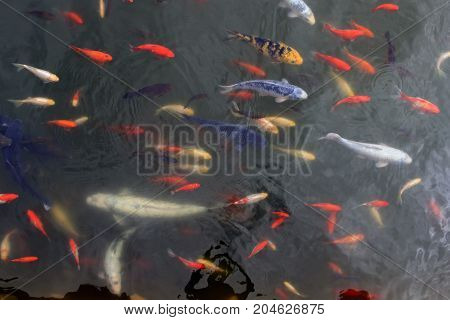 a flock of colorful fish in an artificial pond
