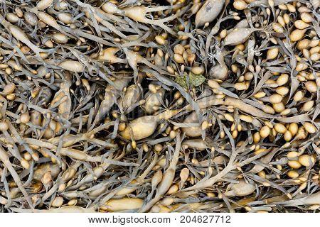 Leaves of Norwegian kelp (Ascophyllum nodosum) a brown algae from the northern Atlantic Ocean.