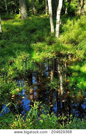 reflection of the tree in wild swamp forest in autumn