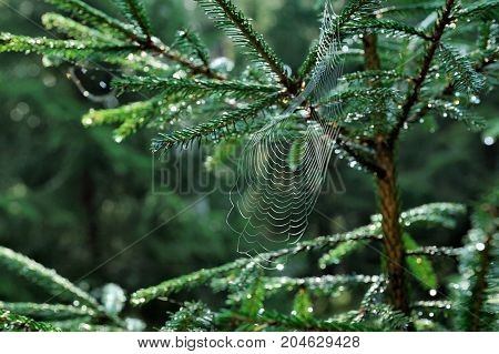cobweb on green picea tree in autumn