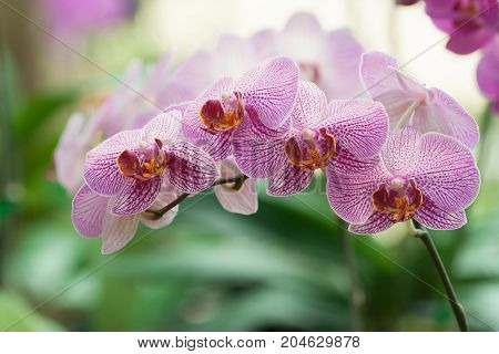 phalaenopsis orchid plant in garden - Stock Image