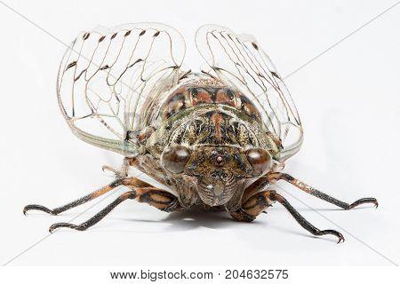 Cicada isolated on white background  - Stock Image