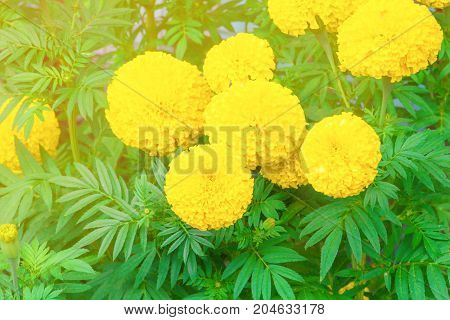 marigold flower yellow on the tree in garden beautiful background with copy space add text (Calendula Flowers)