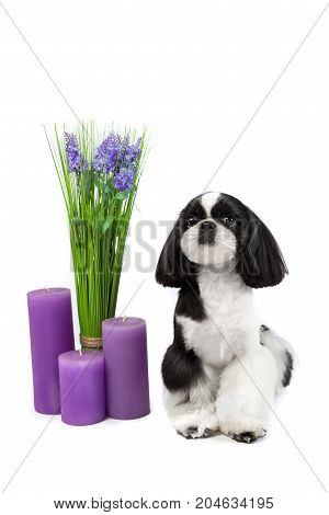 One little beautiful shih-tzu puppy with holiday candle isolated on the white background.