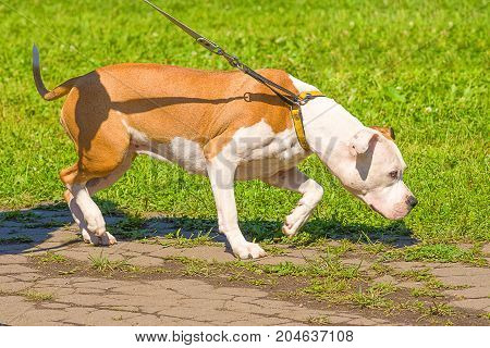 Hunting dog dog on a leash follows the trail. Space under the text. 2018 year of the dog in the eastern calendar Concept: friend, protection, loyalty, vigilance, security