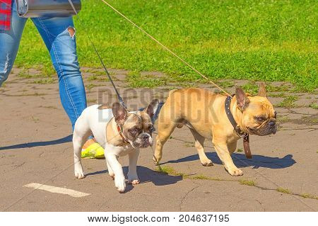 Two bulldogs walk on a leash next to the owner. Sits in front of the camera and looks up against a background of green blurry grass. Space under the text. 2018 year of the dog in the eastern calendar. Concept: parodist dogs, dog friend of man, true friend