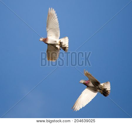 Flock of pigeons against the blue sky