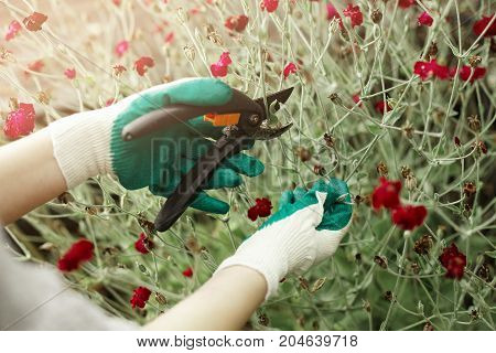Cropped portrait of female gardener wearing protective gloves doing maintenance work pruning limbs and stems of decorative plant to encourage youthful growth using garden scissors or pruners