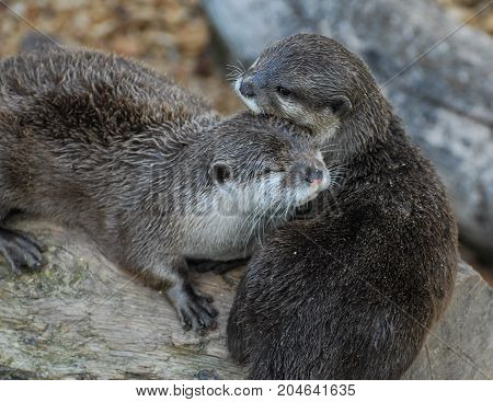 A pair of Otters nuzzling together on a log