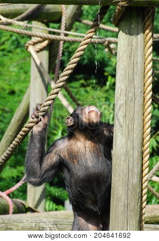 A Chimpanzee drinking water dripping from above