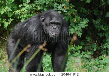 A Chimpanzee looking directly at the camera