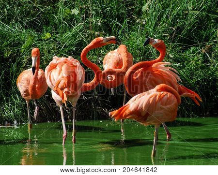 Two pink Chilean Flamingos fight amongst a crowd