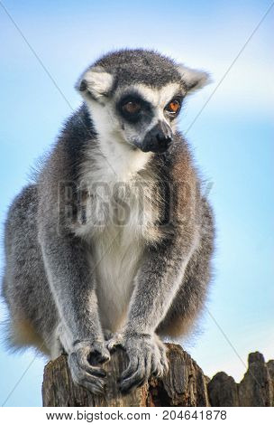 A Ring Tailed Lemur sat on a tree stump