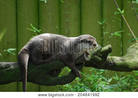 An Otter standing on a tree branch