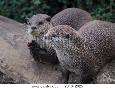 Two otters one of who seems to be praying