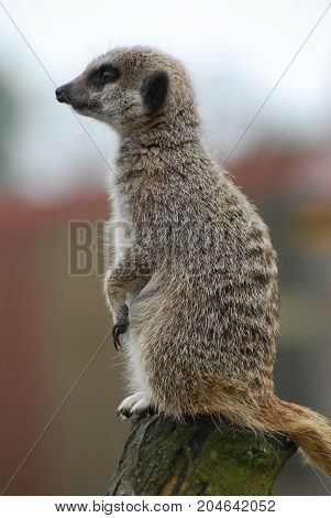 A meerkat in profile, perched on a log looking alert