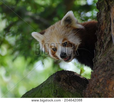 A cheeky looking Red Panda peering round the trunk of a tree