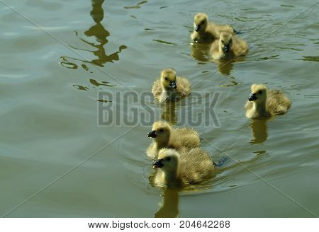 A gaggle of Canada Goose Goslings swimming in a lake