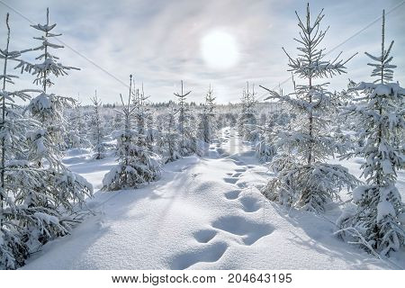 beautiful winter landscape with forest and blue sky. Sunny frosty wintry day. Christmas and new year trees covered with snow in winter forest. traces in the snow