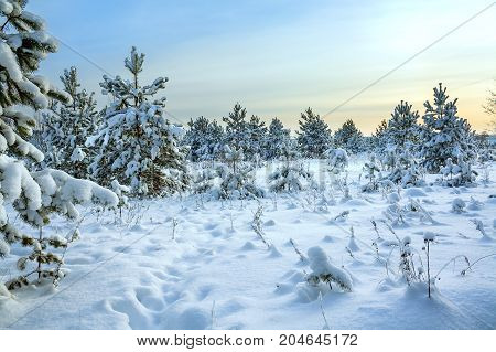 winter rural landscape with forest snow and blue sky. wintry sunrise over snowy field and forest