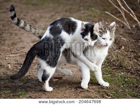 Cats make love in the spring outdoors .
