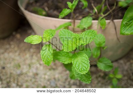 Close up of Fresh mint leaf that growing in flowerpot