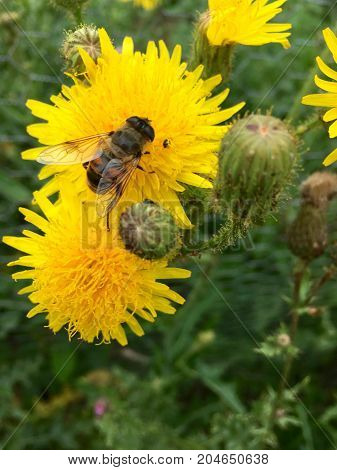 European hoverfly (Eristalis tenax) on a yellow flower head in summer