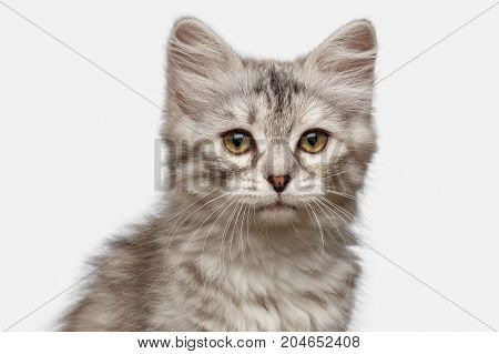 Portrait of Silver Tabby Siberian kitten looking at camera on isolated white background, front view