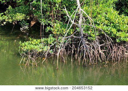 Aerial roots of Mangrove trees at Sungei Buloh Nature Reserve in Singapore during high tide