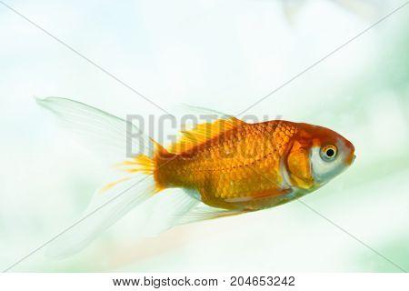 Colorful gold fish swimming in an aquarium