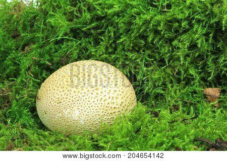 Common earthball (Scleroderma citrinum) also called earthball pigskin poison puffball common earth ball - mushroom on green moss