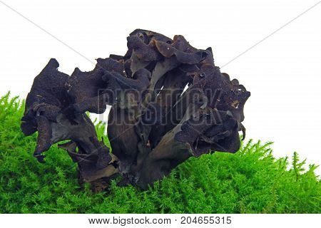 Horn of plenty black chanterelle black trumpet (Craterellus cornucopioides) isolated against white background