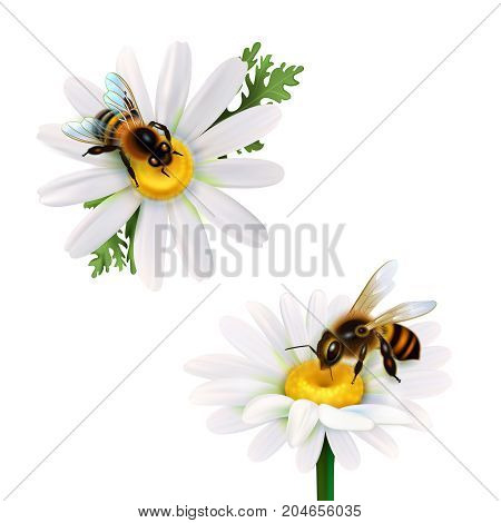 Two honey bees collecting nectar from daisy flowers realistic icons set on white background isolated vector illustration