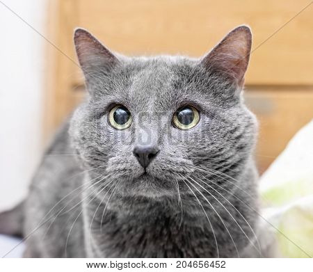 Devotee look of adult gray cat with yellow eyes