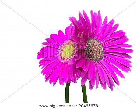 Hdr Wet, Pink Gerber Daisy Couple Entwined On White