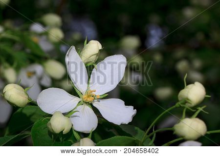 Beautiful flower is blossoming on an apple tree. Closeup.