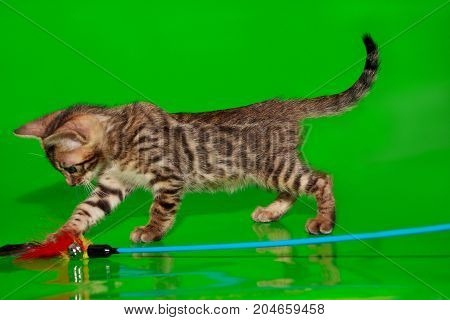 Small bengal kitten is playing with his toy. Two month old.