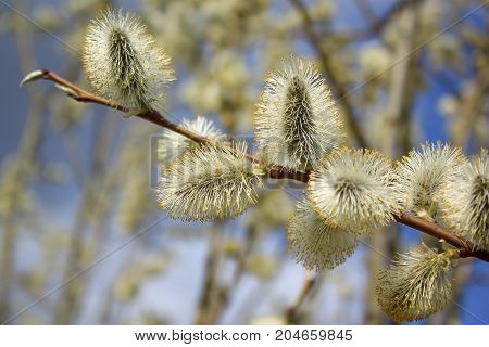 Beautiful branch of willow sparkles in the rays of the sun. Live nature.