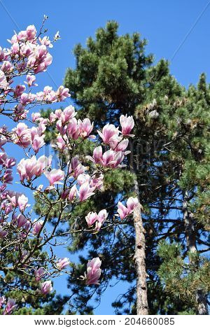 Tulip tree and a pine tree in spring time