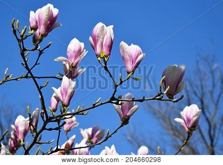 Flowers ot the tulip tree in spring