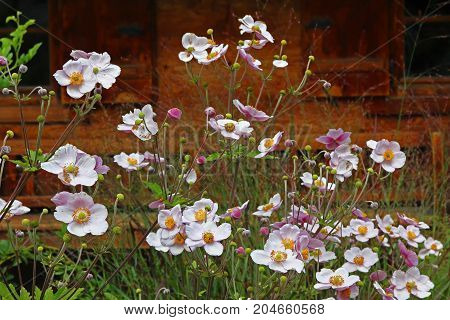 Anemone Japonica In Front Of Farmstead House
