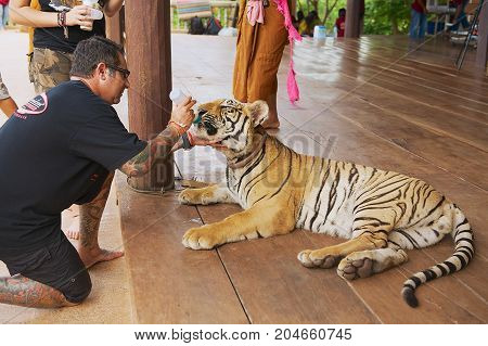 KANCHANABURI, THAILAND - MAY 24, 2009: Unidentified man feeds Indochinese tiger with milk from a bottle in Kanchanaburi, Thailand.