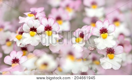 Closeup Of Nemesia Flowers White And Pink