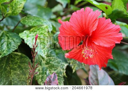 Hibiscus flower at beautiful in the nature