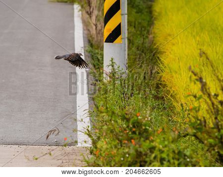 Lone Turtle Dove In Flight Above Roadway
