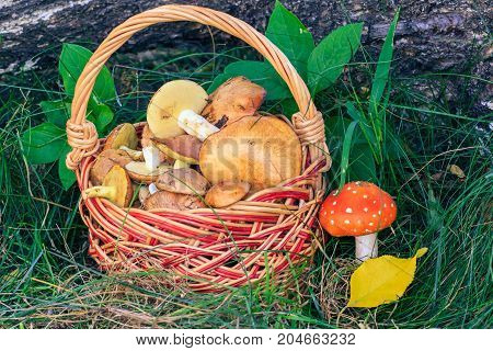 Wicker Basket With Edible Mushrooms And Toxic And Dangerous Amanita On Grass