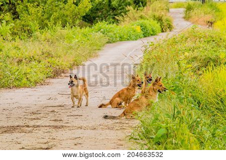 Pack Of Four Brown Dogs On Small Roadway